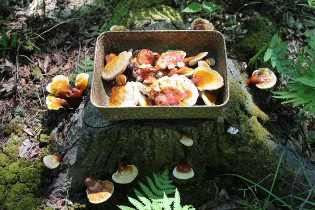 Reishi-Mushroom-Basket-1024x683 The Benefits of Shroomunity Reishi Mushroom Extract